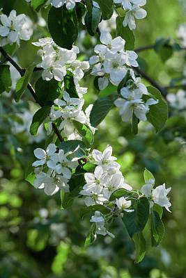 Photograph - Apple Flowers 3 by Jouko Lehto