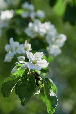 Photograph - Apple Flowers 4 by Jouko Lehto