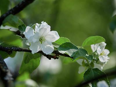 Photograph - Apple Flowers 8 by Jouko Lehto