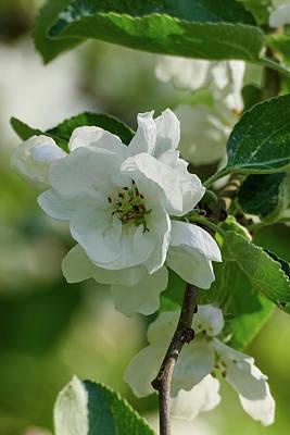 Kitchen Collection - Apple flowers by Jouko Lehto