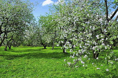 Winter Animals Rights Managed Images - Apple Garden Blossoming  Royalty-Free Image by Liudmila Gerasimova