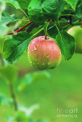 Photograph - Apple Hanging From A Green Tree by Michal Bednarek