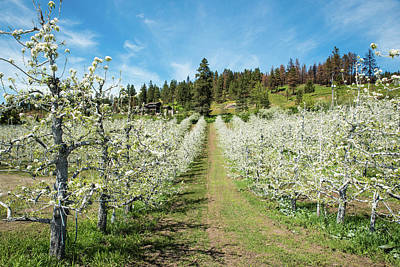 Photograph - Apple Orchard Climbing A Hill by Tom Cochran