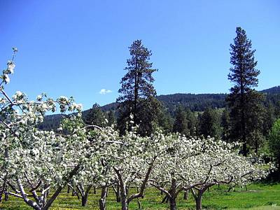 Photograph - Apple Orchard In Bloom by Will Borden
