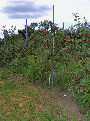 Photograph - Apple Orchard by Margie Avellino
