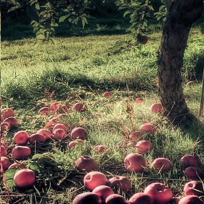 Photograph - Apple Orchard - Vintage Farmhouse Art by Joann Vitali