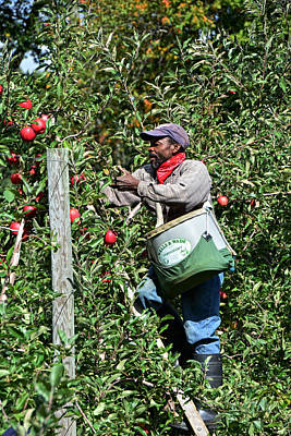 Photograph - Apple Picking by Mike Martin