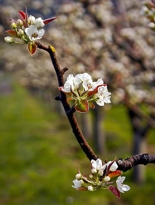 Photograph - Apple Promise by Albert Seger