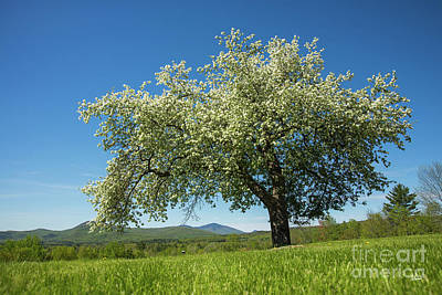 Photograph - Apple Tree by Alana Ranney