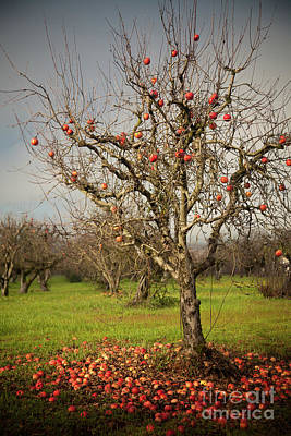 Photograph - Apple Tree by Derek Selander