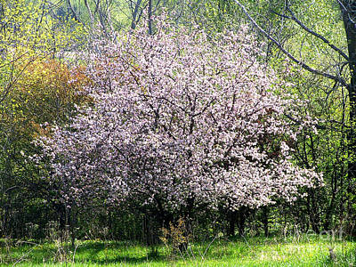 Photograph - Apple Tree In Blossom by Conni Schaftenaar