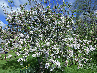 Photograph - Apple Tree In Blossom by Phil Banks