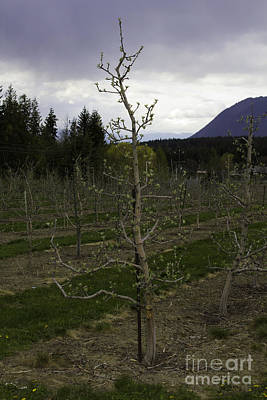 Photograph - Apple Tree In Bud by Donna Munro