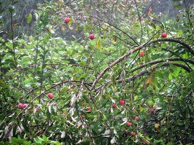 Photograph - Apple Tree In The Forest by Katie Wing Vigil
