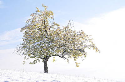 Photograph - Apple Tree With Snow Covered Autumn Leaves by Martin Stankewitz