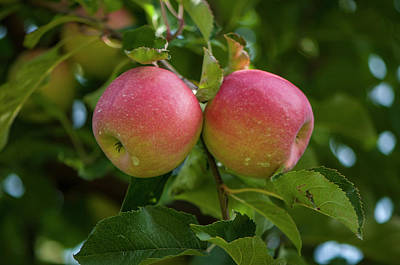 Photograph - Apple Twins by Brian Green