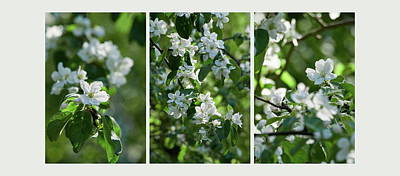 Photograph - Appleflower Triptych by Jouko Lehto