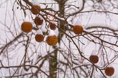Photograph - Apples Of Winter by Angelo Marcialis