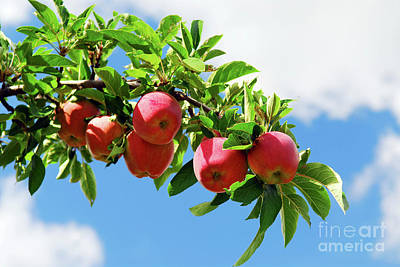 Photograph - Apples On A Branch by Elena Elisseeva