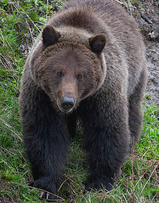 Photograph - Approaching Grizzly by Mark Miller