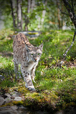 Photograph - Approaching Lynx by Yngve Alexandersson