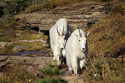 Photograph - Approaching Mountain Goats by Carolyn Derstine