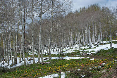 Photograph - Approaching Spring In The Aspen Forest by Cascade Colors
