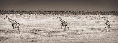 Approaching The Waterhole - Black And White Giraffe Photograph Art Print by Duane Miller