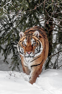 Photograph - Approaching Tiger by Wes and Dotty Weber