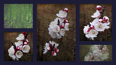 Photograph - Apricot Blossom Collage by Dorothy Berry-Lound