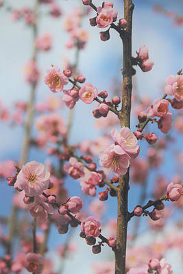 Photograph - Apricot Blossom by Jessica Jenney