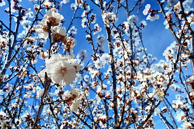 Photograph - Apricot Blossoms by Glenn McCarthy Art and Photography