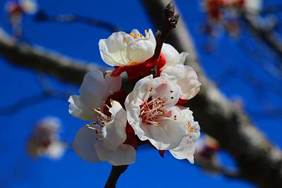 Photograph - Apricot Blossoms by Kathryn Meyer