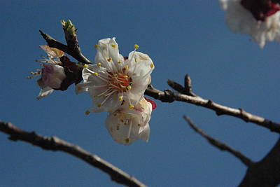 Photograph - Apricot Blossoms by Robyn Stacey
