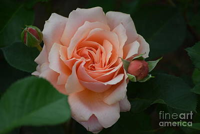 Photograph - Apricot Candy Hybrid Tea Rose by Jeannie Rhode