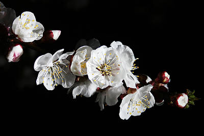 Photograph - Apricot Flowers At Night by Masha Batkova