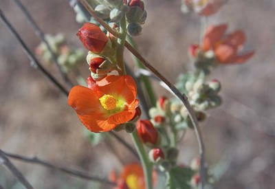 Photograph - Apricot Mallow  by Rick Mosher