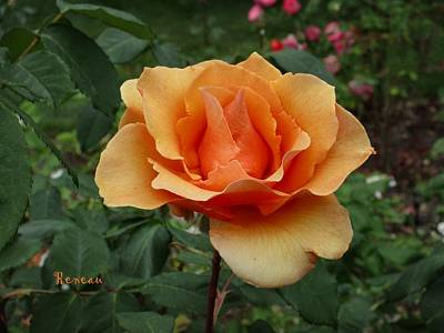 Apricot Rose Art Print by Sadie Reneau