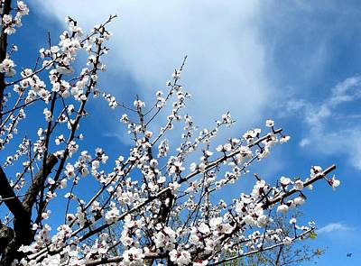 Photograph - Apricot Tree In Bloom by Will Borden