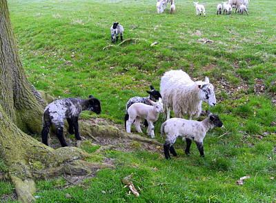 April Lambs Art Print by Mindy Newman