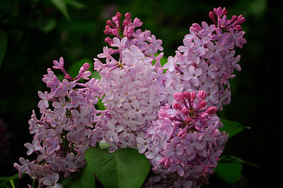 Photograph - April Lilacs by Tikvah's Hope