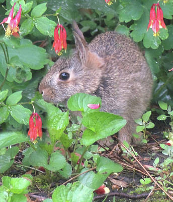 Photograph - April Rabbit And Columbine by Peg Toliver