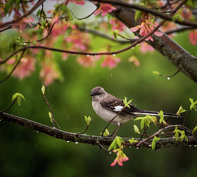 Animals Royalty-Free and Rights-Managed Images - April Showers Bring May Flowers Mocking Bird by Terry DeLuco
