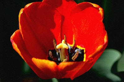 Photograph - April Tulips by Dennis Buckman
