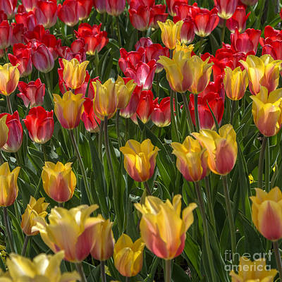 Photograph - April Tulips by Spencer Baugh