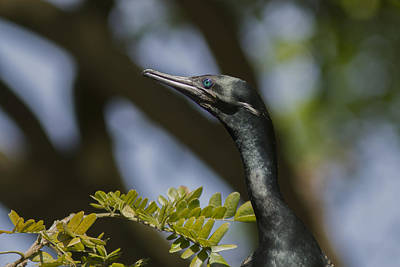 Photograph - Aqua Blue Eyes - Little Cormorant by Ramabhadran Thirupattur