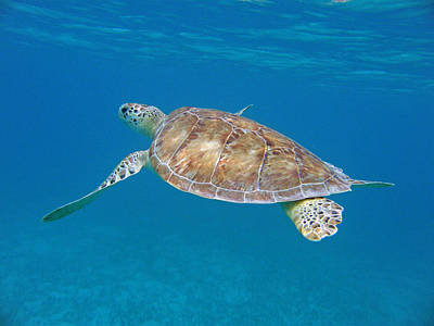 Green Sea Turtle Photograph - Aqua Glider by Kimberly Mohlenhoff
