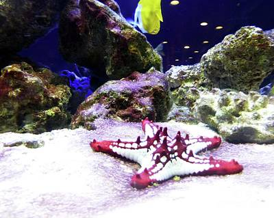 Photograph - Aquarium With Starfish by Barbie Corbett-Newmin