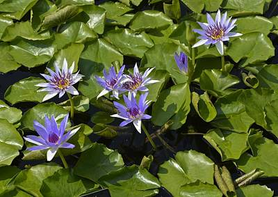 Photograph - Aquarius Waterlilies by Tana Reiff