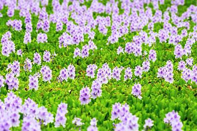 Photograph - Aquatic Plants In Bloom by Joe Belanger